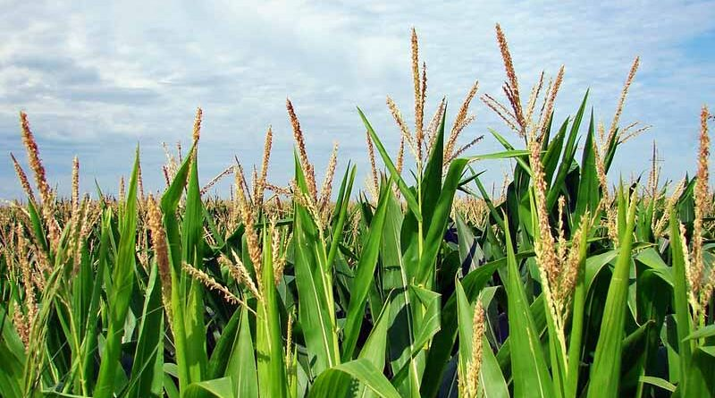 China reports Fall Armyworm in corn growing areas