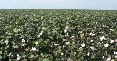 Haryana to start cotton procurement from 1st October through CCI