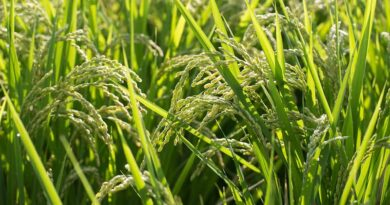 Haryana Government increases the number Of mandis for the Kharif 2020 crop procurement