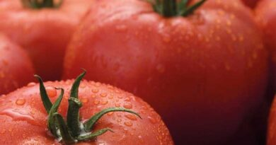 Syngenta to introduce first commercial ToBRFV resistant tomato variety
