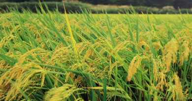 Belgium supports Vietnam in sustainable rice production