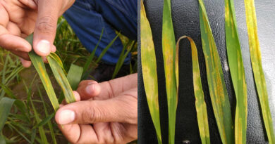 Yellow Rust Attack Sets Off In Ropar