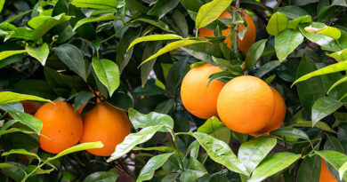 Trump EPA Approves Use Of Medically Important Antibiotic And Banned Pesticide To Address Citrus Greening Disease