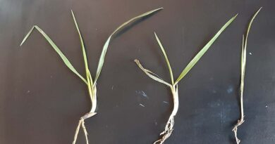 Early spring control to cut competition from wild oats