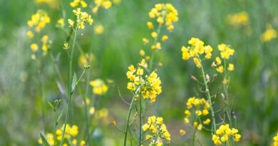89.5 lakh tonnes of mustard seed to be produced in India during rabi season of 2020-21: COOIT