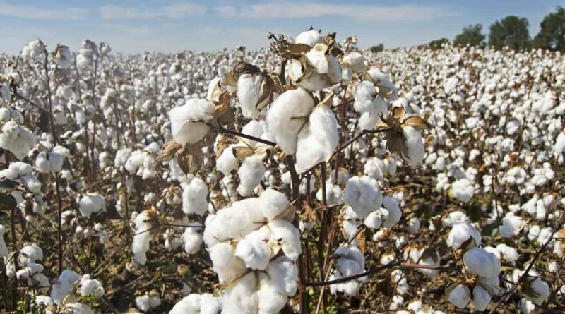 State govt warns against sowing of cotton seeds bought from Gujarat