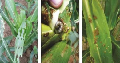 PAU Advises maize growers to control fall armyworm