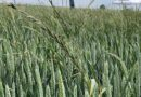 Ryegrass controls stack up