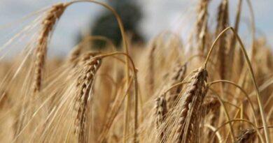 Enhanced rooting powers hybrid barley to victory