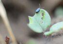 Beetle hits at OSR emergence prevents damage