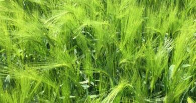 Hybrid barley varieties looking set for another podium position again this season