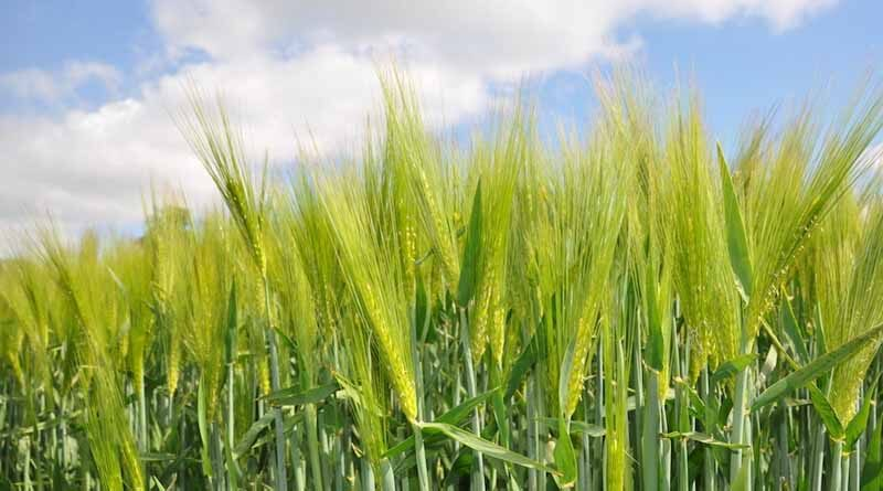 Haryana: Paddy procurement preparations in full swing