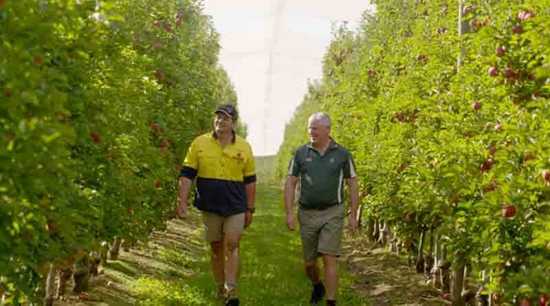 Water stressed apple trees aided by soil ameliorant in Victoria