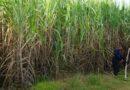 Top cane producer' tag lost, Maharashtra to study UP model
