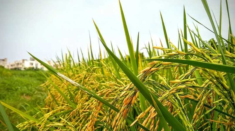 Rise in paddy, pulses area lifts kharif acreage to 1,121.81 lakh hectares