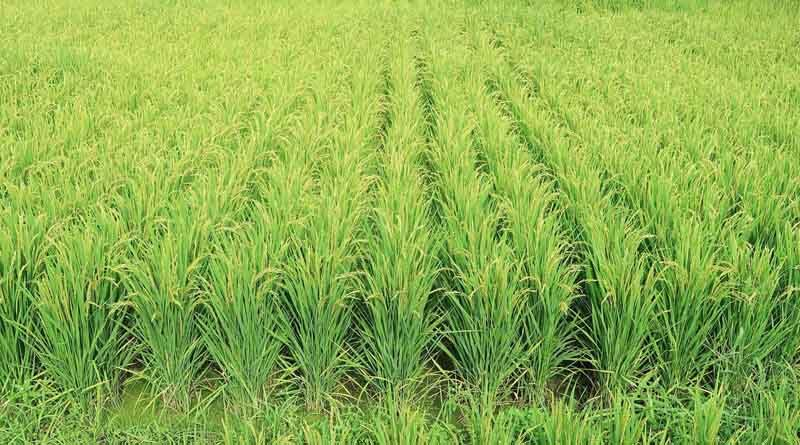 Paddy procurement in Haryana is 1,46,509 MT and in Punjab is 1,41,1043 MT
