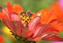 Breeding Honey Bees for Adaptation to Regionalized Plants and Artificial Diets