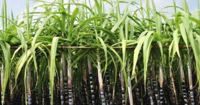 Sugar industry focus should be new tech, says food Secretary