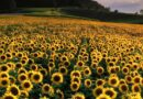 Sunflowers a rotational crop option for New Zealand growers